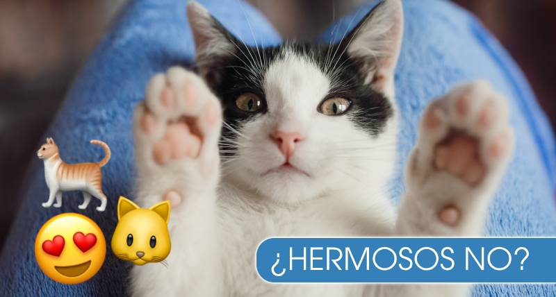 A que no sabías por qué los gatos se acuestan boca arriba cuando te ven
