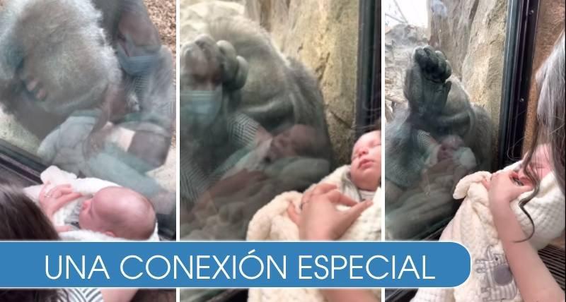 El conmovedor momento en el que 'mamá gorila' ve a un bebé recién nacido